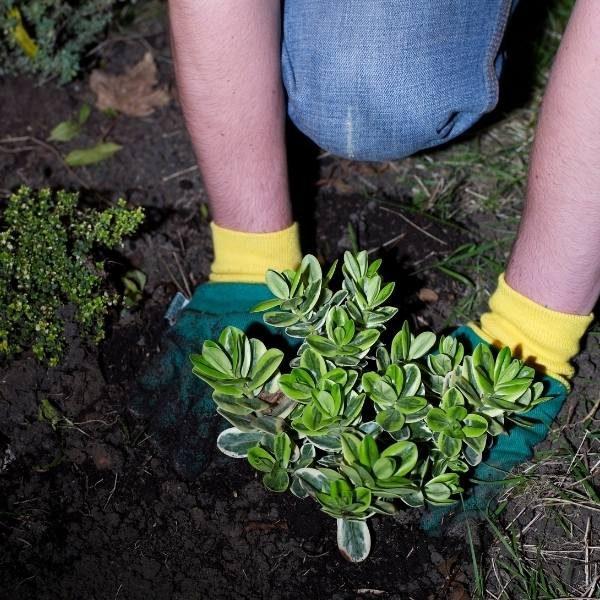 arbustosasteklima
